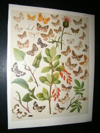 Kirby 1907 Larentiidae Moths 51. Antique Print
